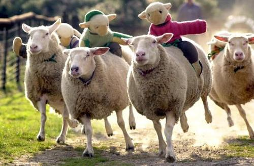 Crazy sheep race