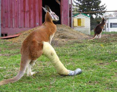 Kangaroo after wookie attack