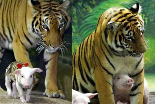 Two pictures of tiger and pig