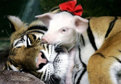Cute tiger and a pig with a bow