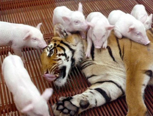Mother Tiger Nurses Piglets