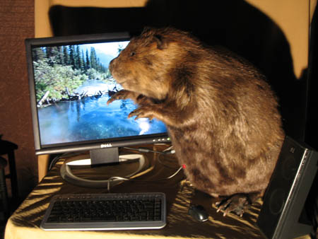 Beaver in action